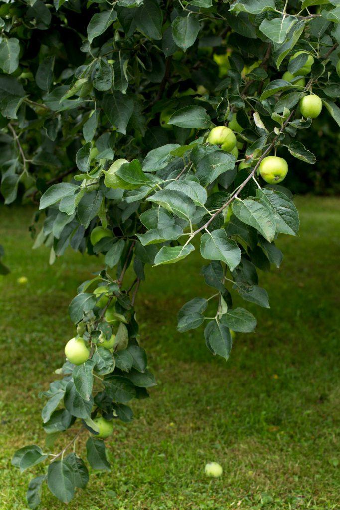 Valkea-kuulas-omena
