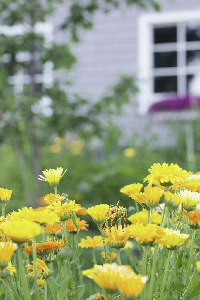 Kaunein kukka kehäkukka tekstin kuva