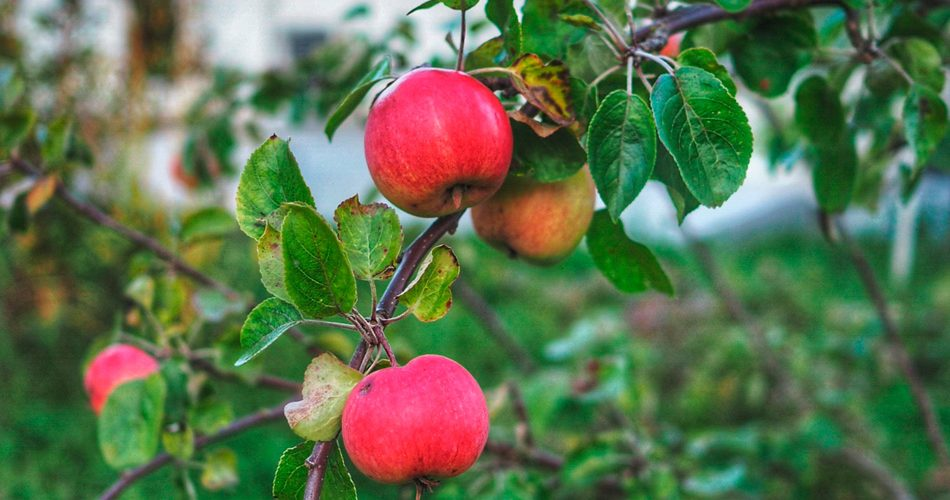 Kotimaisen omenan sato on nyt parhaimmillaan